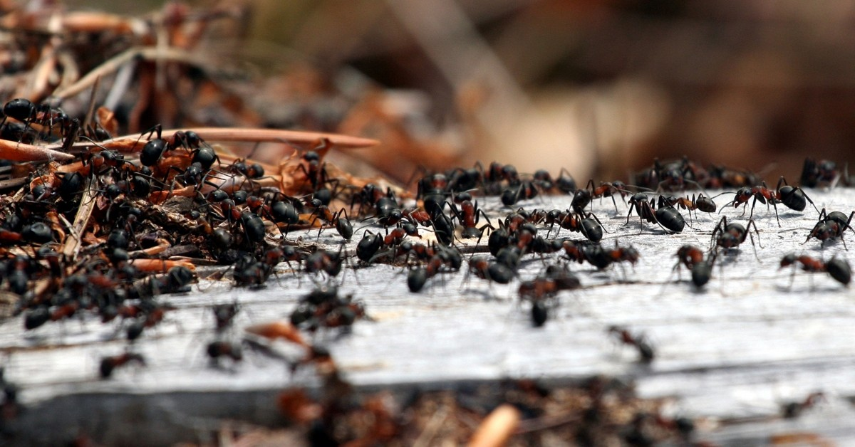 Palm Coast Pest Control Ants Image