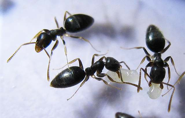 white footed ants